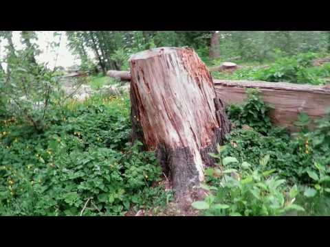 Sick Dead and Dying trees in Burnaby British Columbia - Across Canada Reports
