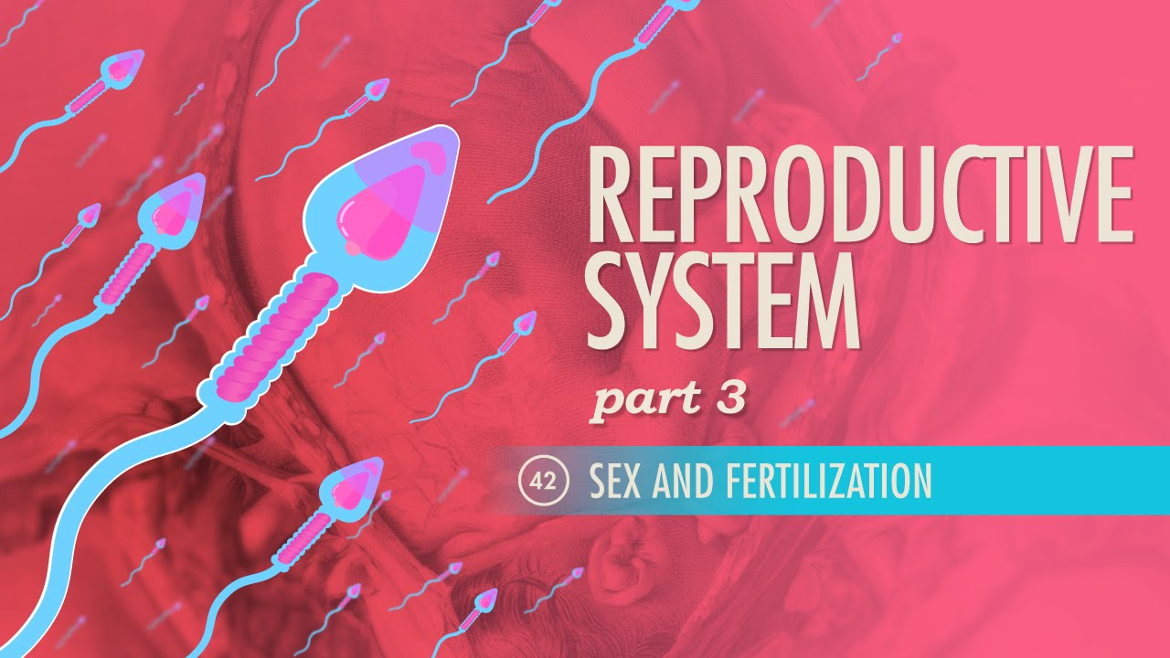 Reproductive System, part 3 - Sex & Fertilization: Crash Course A&P ...