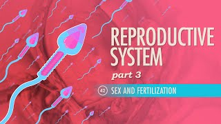 Reproductive System, part 3 - Sex & Fertilization: Crash Course A&P #42