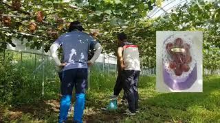 마이하트 신품종 포도 소개 - 인간극장 촬영