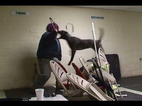 Dutch Shepherd EXTREME Attack Training (k9-1.com)