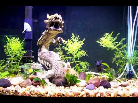 Black moor goldfish and fantail goldfish youtube for What fish can live with goldfish in a pond