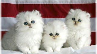 Video Ini 13 Ras Kucing Paling Lucu Sedunia, Kamu Mau Pelihara Yang Mana? download MP3, 3GP, MP4, WEBM, AVI, FLV Juni 2018