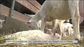 ANIMAUX : À Rouillac, les chèvres sont les reines de la ferme