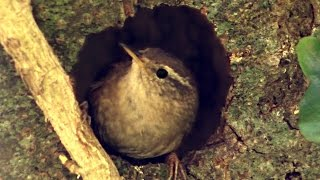 Wren - Little Bird Building a Nest and Singing a Song - Nid de Troglodyte Mignon