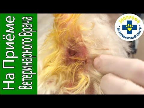 Как лечить свищ у собаки
