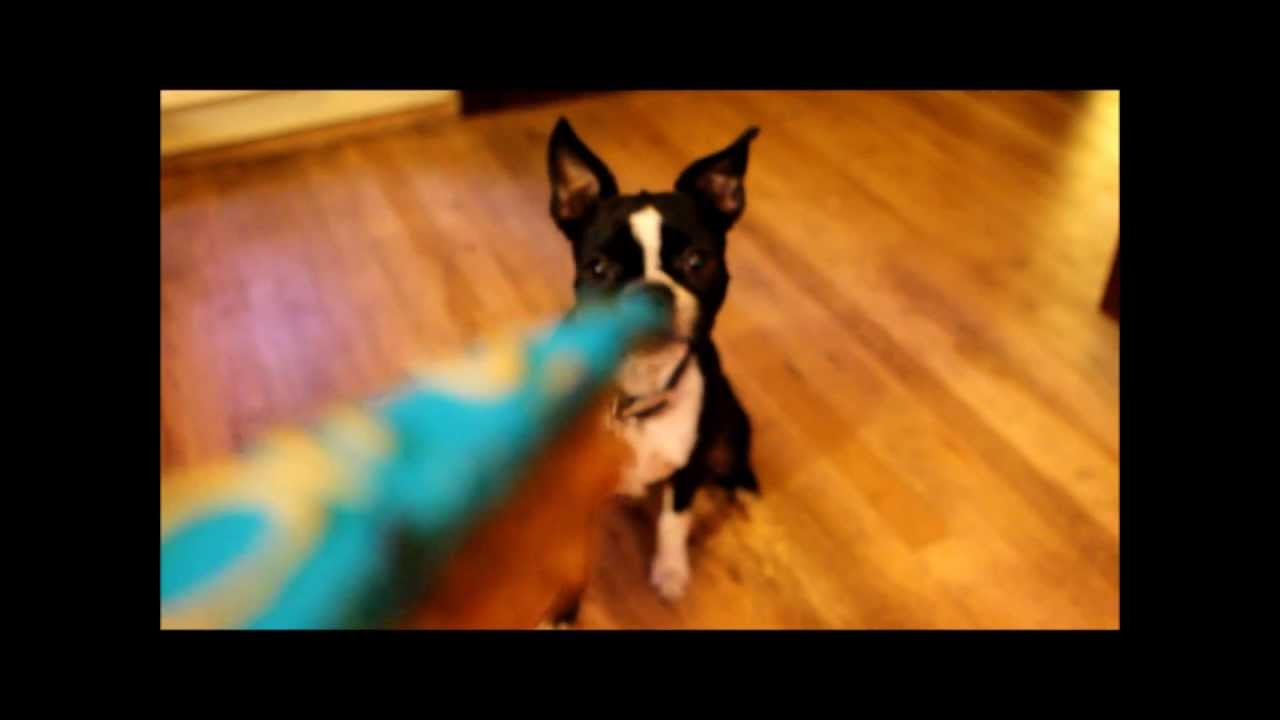 Boston Terrier Birthday Cake Youtube