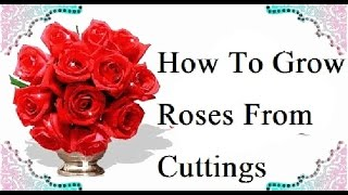Rose Cutting Plantation/How To Grow Roses From Cuttings (Urdu/Hindi)