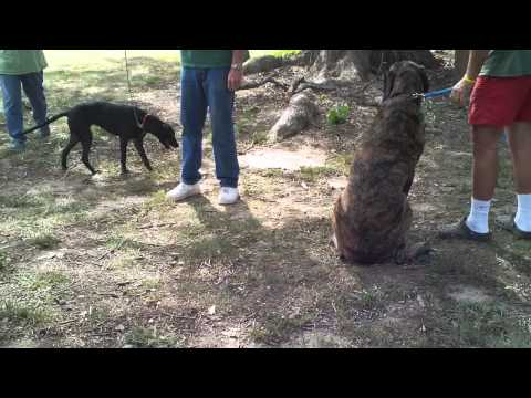 Dehring dogs - aggression evaluation initial meeting