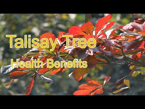 Indian Catappa or Talisay - What Are Its Benefits