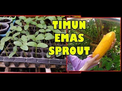 # TIS # KILAT SPROUT!!Mentimun 2 Hr Pindah Tanam dg Kualitas Prima | How to Grow Cucumber Fastly