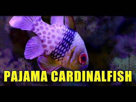 PAJAMA CARDINAL FISH IN MY REEF TANK!