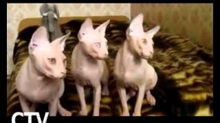CTV.BY: Невероятно! Кошки танцуют в такт музыке