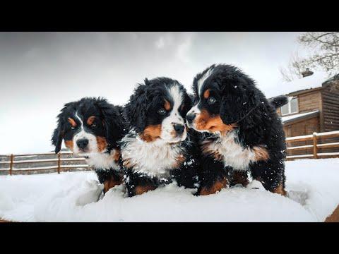 WEEK 8 PUPDATE!! Bernese Mountain Dog Puppies' First Snow! || Ep. 9
