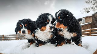 WEEK 8 PUPDATE!! Bernese Mountain Dog Puppies' First Snow! || Ep. 9