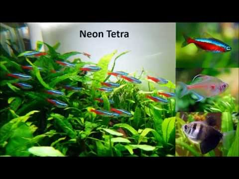 Easy to keep beginner tropical  fish