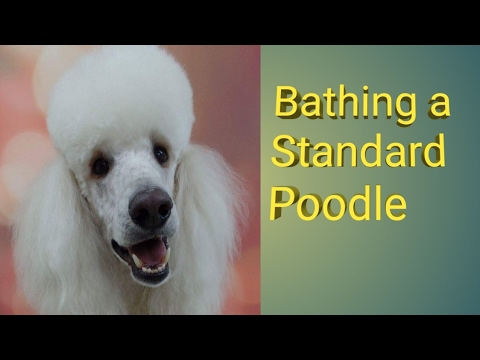 Bathing a Standard Poodle