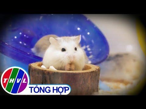 THVL | Nuôi chuột hamster: Làm cảnh hay nuôi bệnh trong nhà