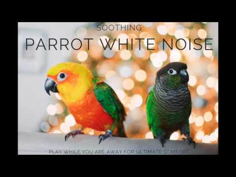 Parrot Soothing   Continuous Sound