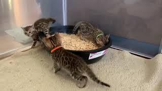 Bengal Kitten Playtime at Bengaltime.