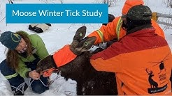 Largest Moose Winter Tick Study Underway in North America