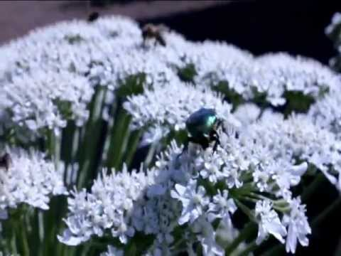 борщевик трава фото