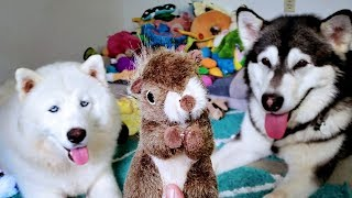 Husky Opens Her Birthday Gifts From Subscribers