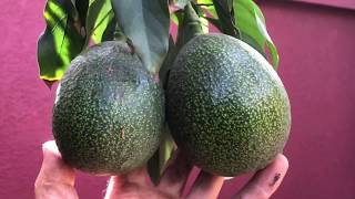 6/26/20 Reed Avocado Fruiting Report #6, and Gary's New Sales Gimmick