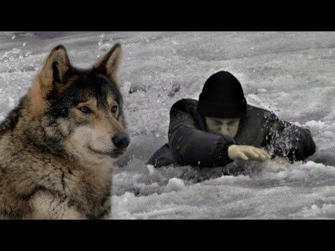 🐺 ВОЛК услышал крик о помощи и СПАС  юного охотника! Случай в тайге!