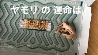 ヤモリをゴキブリホイホイから救う thumbnail