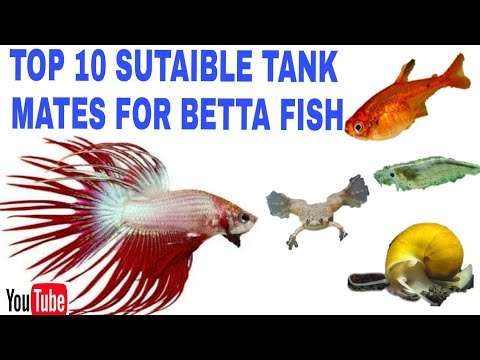 Top 10 Sutaible Tank Mates For Betta Fish