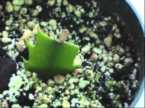 thanksgiving cactus propagation youtube. Black Bedroom Furniture Sets. Home Design Ideas