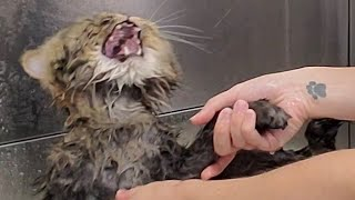 Hilarious angry Cat wants revenge on his groomer | Mayonnaise is back