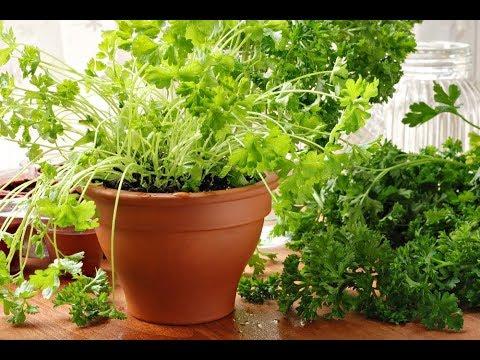 Вопрос: Чем подкормить зелень на подоконнике, чтобы лучше росла?