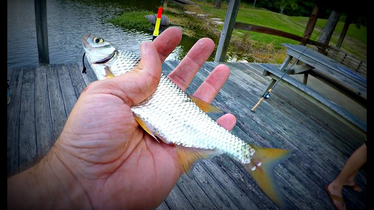 Fishing with LIVE Bait (Golden Shiners)