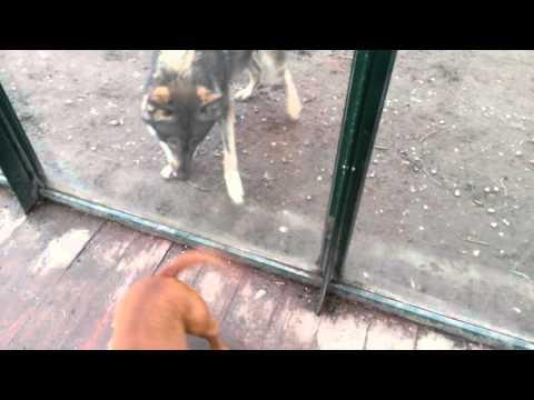 Wolf vs. Staffordshire Bull Terrier