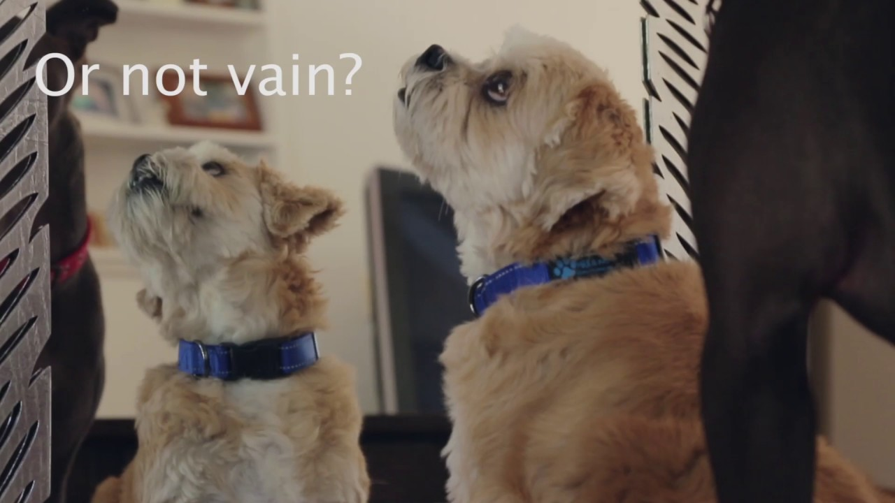 Do Dogs Recognize Their Reflection In The Mirror? - YouTube