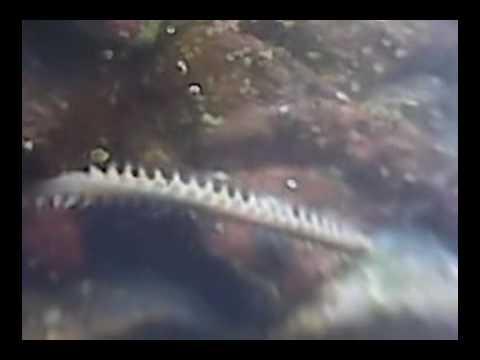 Bristle Worm In Saltwater Aquarium YouTube