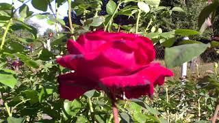 Изучаем розу,немного ботаники)