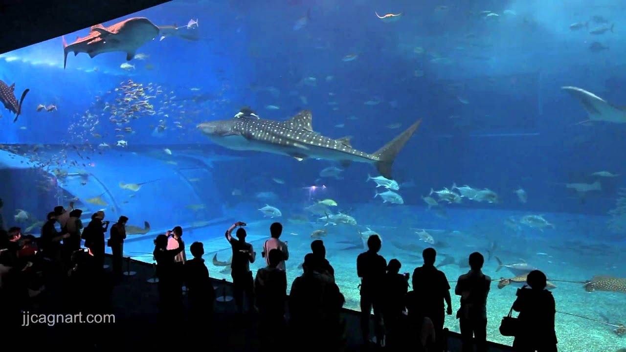 3d Fish Wallpaper Live Okinawa Aquarium Churaumi Whale Sharks Amp Mantas Youtube