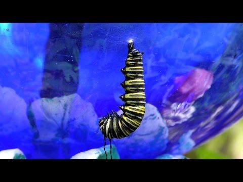 Monarch Butterfly Metamorphosis time-lapse UHD 4K FYV