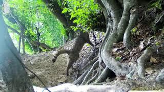 ID3732/Северо Осетинский заповедник/Лесной кот ставит метки на жилой норе барсуков