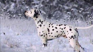 Caprilli's Justin Time (LUA) Dalmatian Stud Dog