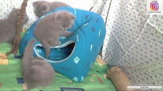 Голубые британские котята смотреть онлайн... (1 месяц от роду).