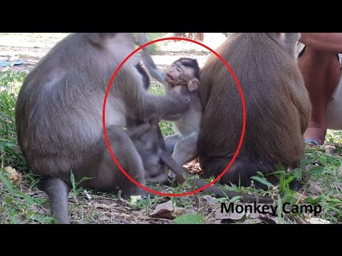 Thumbnail: Baby monkey cry because of big monkey,Pig tail monkey take care baby monkey,Monkey life, Monkey Camp