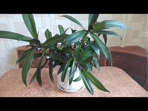 Цветок рео уход в домашних условиях фото