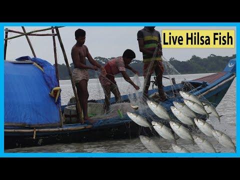 Live Hilsa Fish Catching At Payra River By Smart Kids | Fish Corn