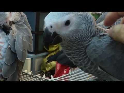Friendly African Grey Parrots – Tiun
