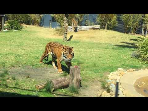 Sumatran Tigers Feeding Time