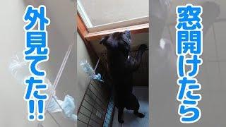 2018年9月29日撮影 窓を開けたら外を見ていブル君です。 撮影機材:SONY...